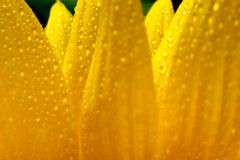 Sunflower petals. Close-up of sunflower petals with water drops Royalty Free Stock Photography