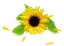 Sunflower and Petals stock photo