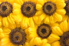 Sunflower petals background. Beautiful yellow Sunflower petals background Stock Photo