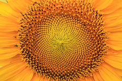 Sunflower with petals for background close up. Flower orange and yellow texture with natural pattern Royalty Free Stock Photos