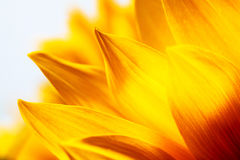 Sunflower petals, background pattern and colour Royalty Free Stock Photos