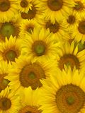 Sunflower petals background Stock Images