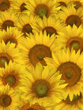 Sunflower petals background Royalty Free Stock Images
