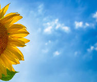 Sunflower petals and blurred cloudy blue sky Stock Images