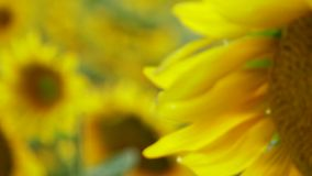 Sunflower Petals stock footage