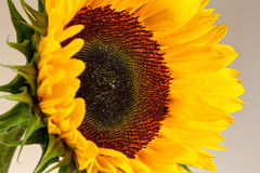 Sunflower and it is petals close up Royalty Free Stock Images