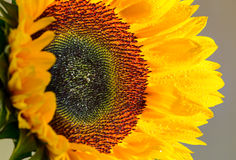 Sunflower and it is petals close up Stock Photos