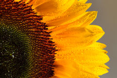 Sunflower and it is petals close up Royalty Free Stock Photography