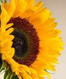 Sunflower and it is petals close up Stock Photo