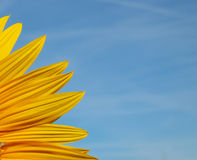 Sunflower petals close-up with blue sky background stock photo