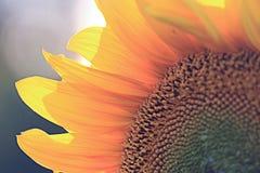 Sunflower petals close-up. Sun blur Royalty Free Stock Image