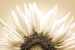 Sunflower petals Stock Photos