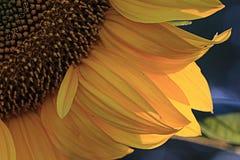Sunflower petals close-up. Yellow sunflower petals close-up Royalty Free Stock Photos