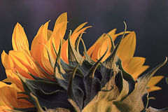 Sunflower petals close-up Royalty Free Stock Images