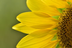 Sunflower petals closeup. Sunflower petals bright in the green background Royalty Free Stock Image