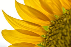 Sunflower petals closeup. Stock Photos