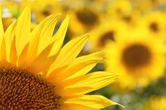 Sunflower petals detal Stock Images