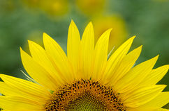 Sunflower petals Stock Images