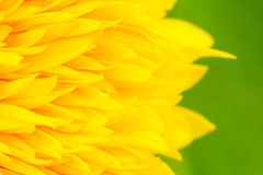 Sunflower petals with green background Stock Images