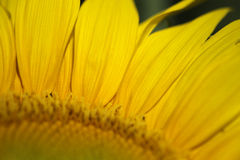 Sunflower petals macro Royalty Free Stock Photo