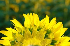 Sunflower petals macro photo stock photography