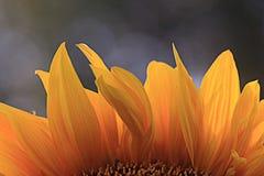 Sunflower petals Stock Image