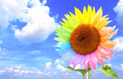 Sunflower with petals, painted in different colors Royalty Free Stock Photography