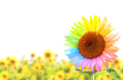 Sunflower with petals, painted in different colors Royalty Free Stock Image