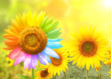 Sunflower with petals painted in rainbow colors Stock Images