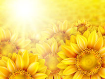 Sunflower petals with summer sun. EPS 10 Royalty Free Stock Images