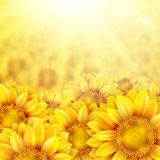 Sunflower petals with summer sun. EPS 10 Stock Photo