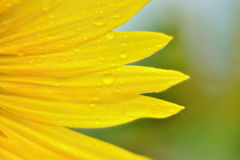 Sunflower petals with water drops closeup Royalty Free Stock Photos