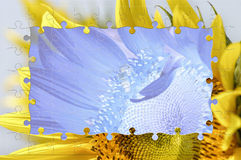 Sunflower photo frame Stock Image