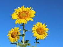 Sunflowers in Blue Sky Stock Photo