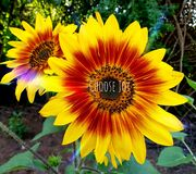 Choose joy, sunflower photographed in Bloemfontein, South Africa