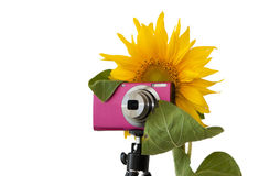 Sunflower photographer Royalty Free Stock Photos