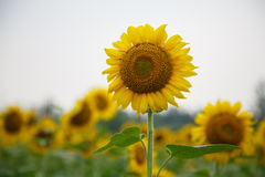 Sunflower. Picture of Sunflowers in Beijing Olympic forest garden Stock Images