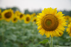 Sunflower. Picture of Sunflowers in Beijing Olympic forest garden Stock Photo