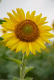 Sunflower. Picture of Sunflowers in Beijing Olympic forest garden Royalty Free Stock Photos