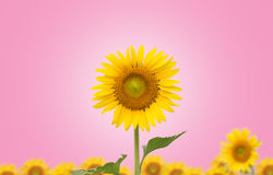 Sunflower on pink  background Royalty Free Stock Photography