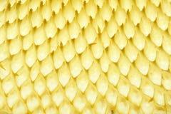 Sunflower placenta Royalty Free Stock Image