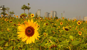 Sunflower. Plant、flowers、sunflower、The sun、dynamic、vitality、Elegant demeanour Royalty Free Stock Photos