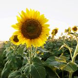 Sunflower plant. Royalty Free Stock Photos
