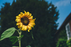 Sunflower Plant Royalty Free Stock Images