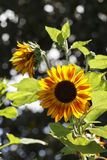 Sunflower Plant Backlit By The Sunlight Royalty Free Stock Photos