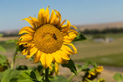 Sunflower plant with bee Royalty Free Stock Images