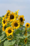 Sunflower Plant in Bloom. View of sunflower plants in full bloom with ample copy space Stock Photos