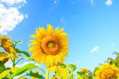 Sunflower plant on blue sky Stock Photos