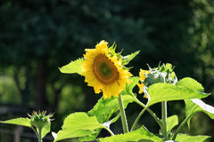 Sunflower. Plant caught in the late afternoon Royalty Free Stock Photography