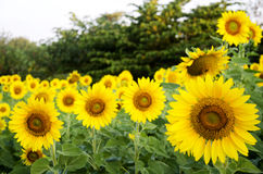 Sunflower plant on field royalty free stock image